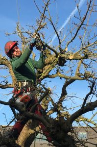 Obstbaumschnitt_Apfel