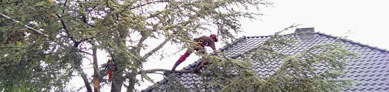 Baumpflege Cedrus atlantica